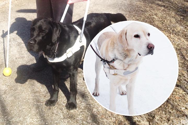 Två labradorer där den ena har vit sele och är i arbete som ledarhund